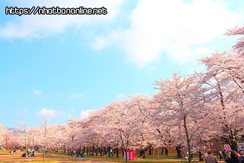 Vườn Sakura nghìn cây tại Akagi Nanmen - tỉnh Gunma Nhật Bản