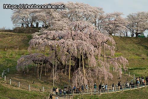 Cây Sakura cổ thụ Miharu Taki-zakura - tỉnh Fukushima Japan
