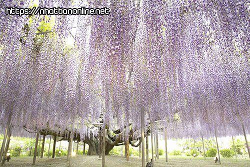 Cây hoa tử đằng 130 tuổi - tỉnh Tochigi Japan