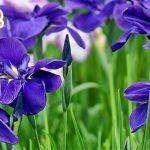 Hoa diên vĩ - loài hoa đặc trưng của tỉnh Ibaraki Japan