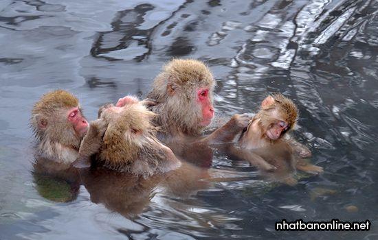 Công viên khỉ Jigokudani - tỉnh Nagano Nhật Bản