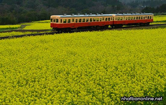 Đường sắt Isumi xuyên qua cánh đồng hoa cải