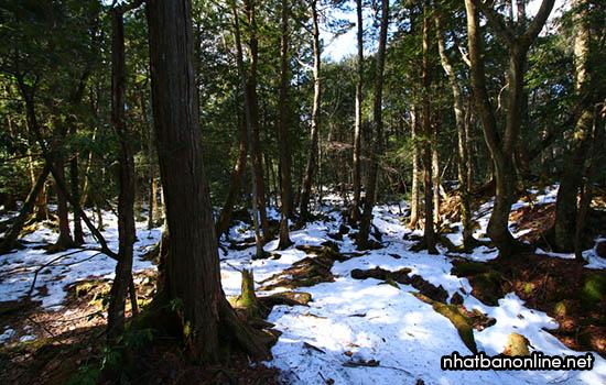 Rừng Aokigahara - khu rừng tự sát nổi tiếng ở tỉnh Yamanashi Japan