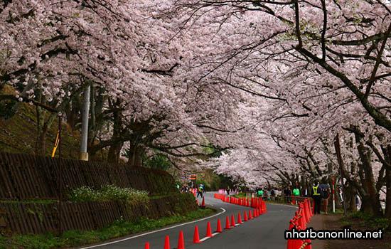 Sakura tại Kaizu-Osaki - tỉnh Shiga Japan