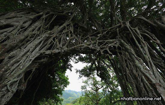 Cây Nakama Banyan nằm ở tỉnh Kagoshima Nhật Bản