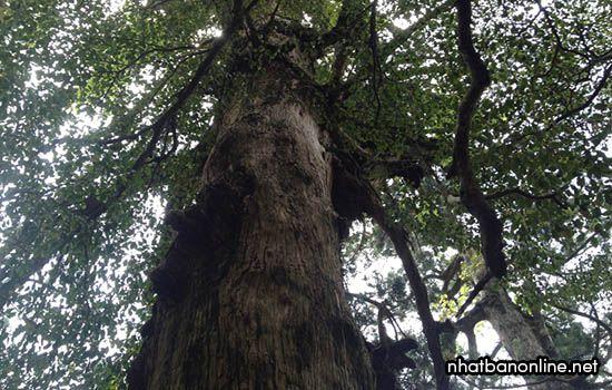 Cây cổ thụ ngàn năm tuổi Jomon Sugi nằm ở tỉnh Kagoshima Nhật Bản