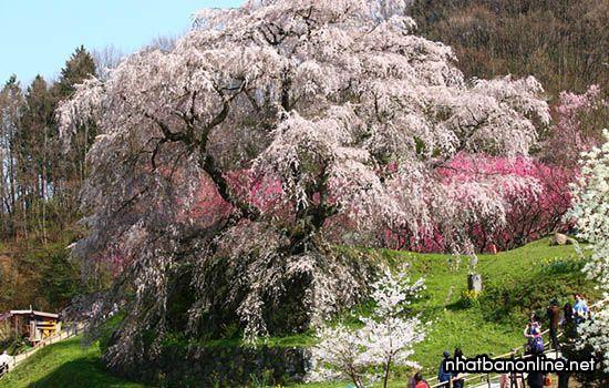 Cây hoa anh đào Shidare cổ thụ - tỉnh Nara Nhật Bản