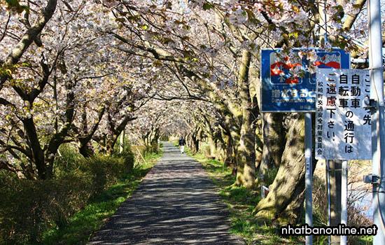 Hoa anh đào ở thị trấn Matsuzaki - tỉnh Shizuoka Japan