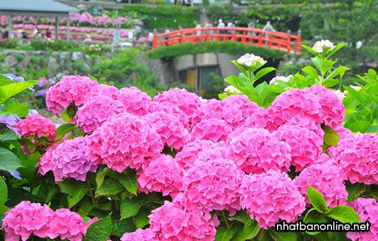 Vườn hoa Cẩm Tú Cầu ở suối nước nóng Katahara Onsen