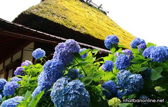 Nhà mái tranh Kayabuki - tỉnh Kyoto Japan