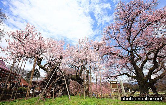 Jindai Zakura - cây hoa anh đào già nhất ở Nhật Bản