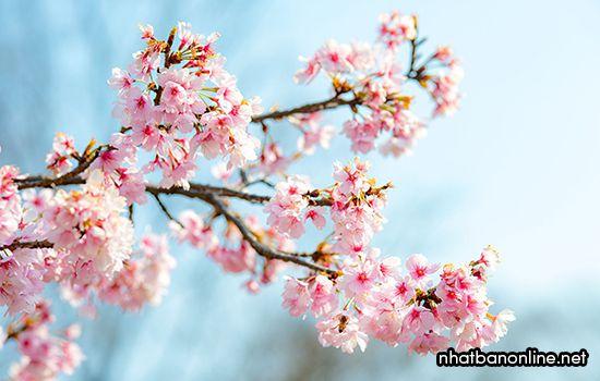 Sự tích hoa anh đào ở Japan