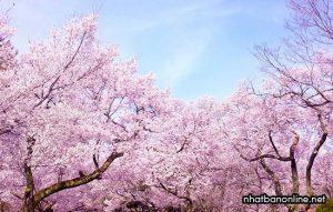Sakura - hoa anh đào ở Nhật Bản