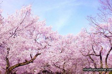 Hoa anh đào ở Nhật Bản, một đặc trưng không thế thiếu của xứ Phù Tang