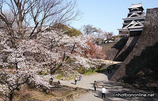 Mùa hoa anh đào ở lâu đài Kumamoto