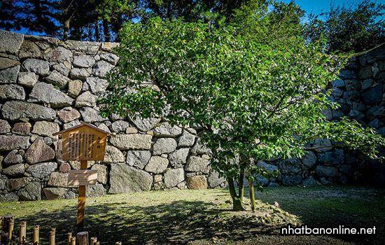 Cây Camellia trong lâu đài Nagoya