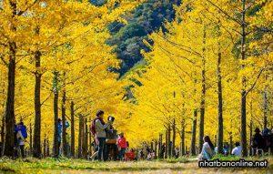 Cây ngân hạnh (cây rẻ quạt) biểu tượng của thủ đô Tokyo