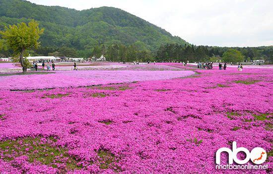 Hoa chi anh ở Nhật Bản
