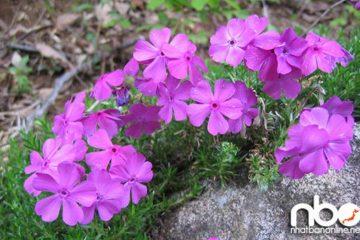 Hoa chi anh và lễ hội hoa Fuji Shibazakura ở Nhật Bản