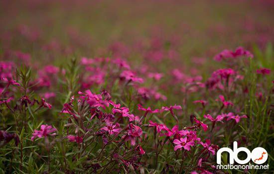 Hoa chi anh Nhật Bản