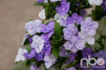 Cây hoa lài Nhật – loài cây đến từ Nhật rất được yêu thích ở Việt Nam
